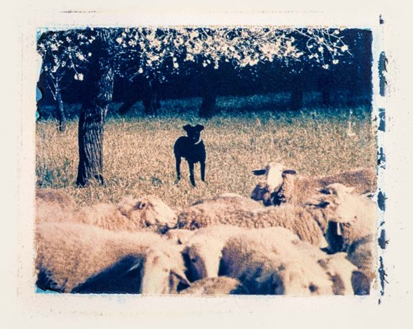 The best shepherd